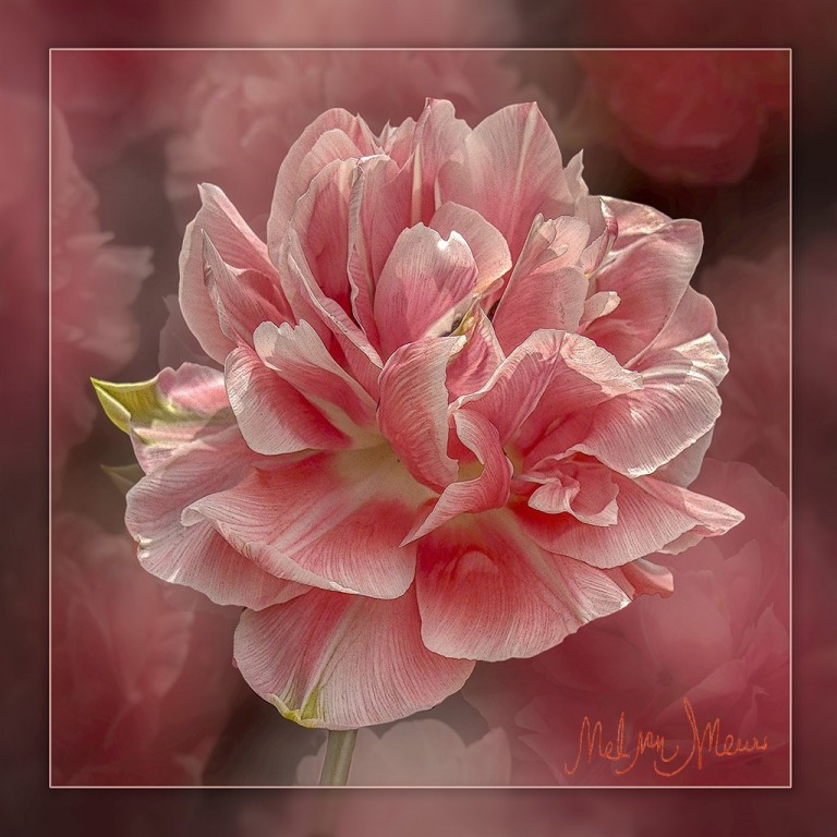 roze-tulp